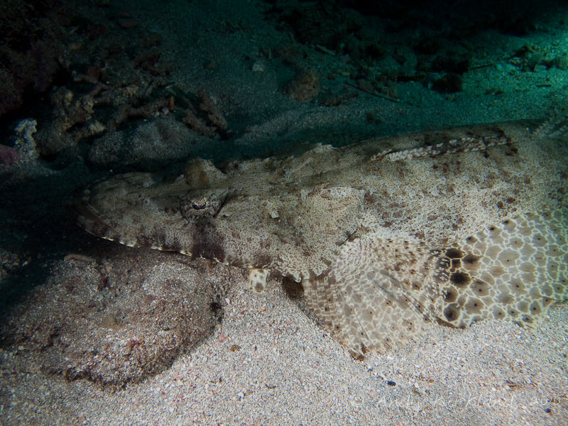 Photo at Marsa Abu Dabab:  Tentacled flathead