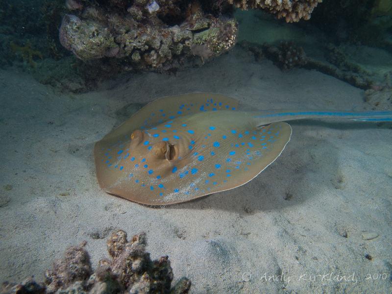 Photo at Marsa Al Assalaiya:  Bluespotted ribbontail ray