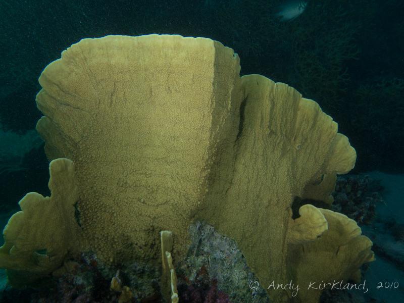Photo at Marsa Al Assalaiya:  Plate fire coral