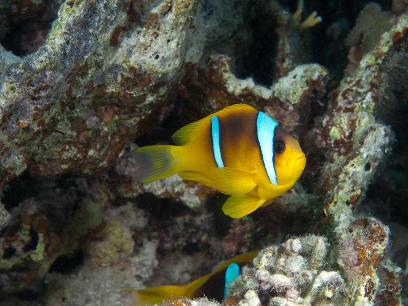 Photo at Marsa Al Assalaiya:  Twoband anemonefish