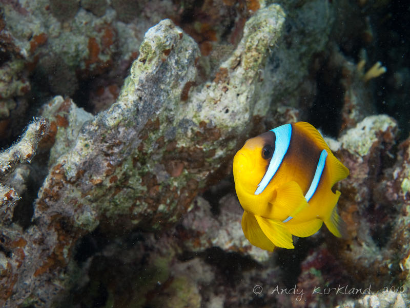 Photo at Marsa Al Assalaiya:  Twoband anemonefish
