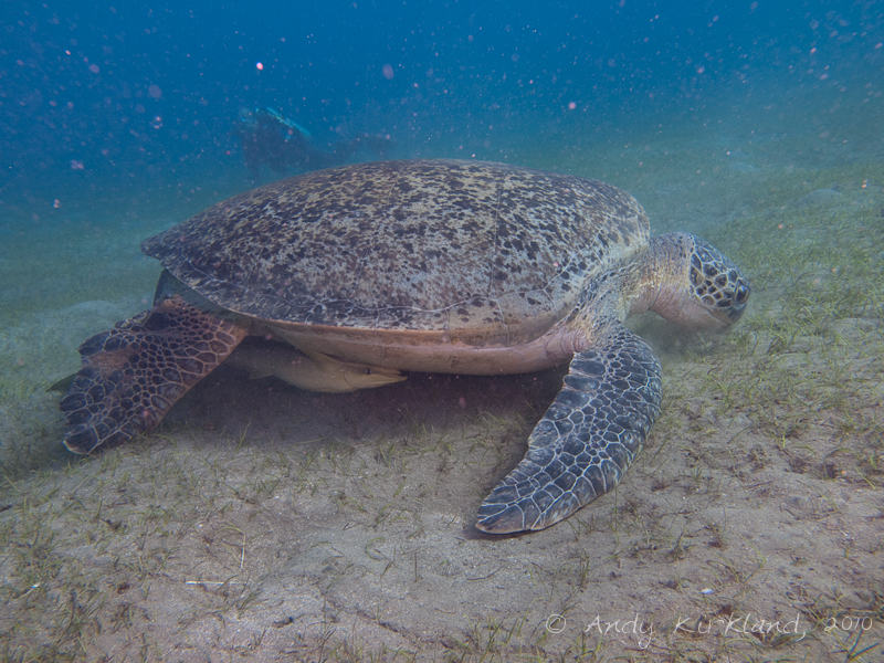 Photo at Marsa Abu Dabab:  Green Turtle
