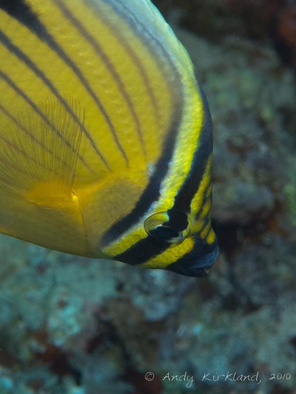 Photo at Marsa Abu Dabab - North:  Blacktail butterflyfish