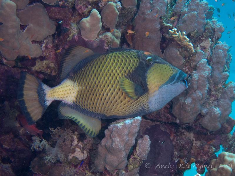 Photo at Marsa Abu Dabab - North:  Titan triggerfish