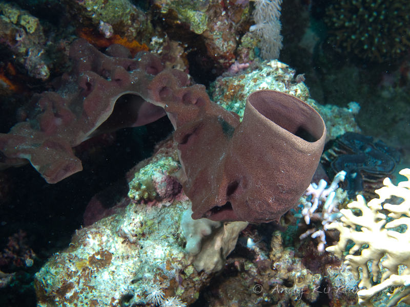 Photo at Marsa Abu Dabab - North:  Large tube-sponge