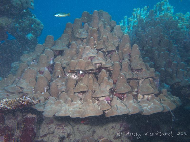 Photo at Sha'ab Abu Dabab 2 & 3:  Dome coral