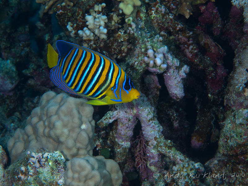 Photo at Sha'ab Abu Dabab 1:  Royal angelfish