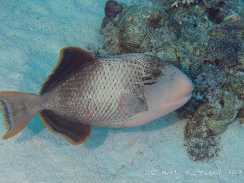 Photo at Sha'ab Abu Dabab 1:  Yellowmargin triggerfish