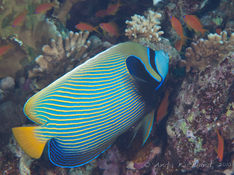 Photo at Sha'ab Abu Dabab 1:  Emperor Angelfish