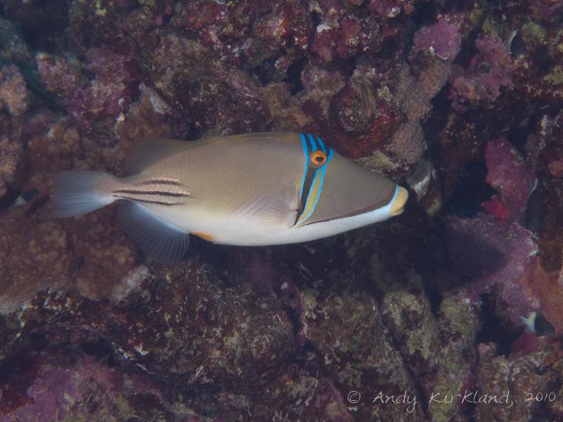 Photo at Sha'ab Abu Dabab 1:  Picasso triggerfish