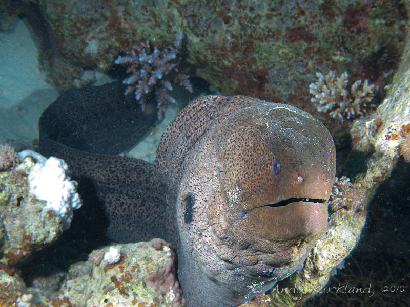 Photo at Sha'ab Abu Dabab 1:  Giant moray