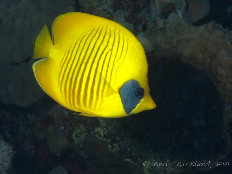 Photo at Sha'ab Abu Dabab 1:  Bluecheek butterflyfish
