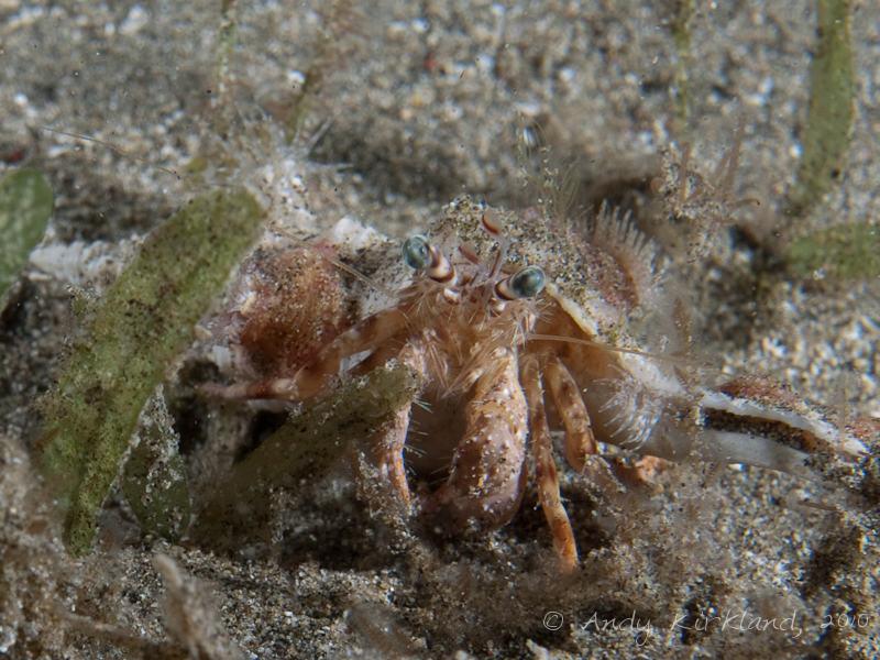 Photo at Marsa Abu Dabab - North:  Anemone Hermit crab