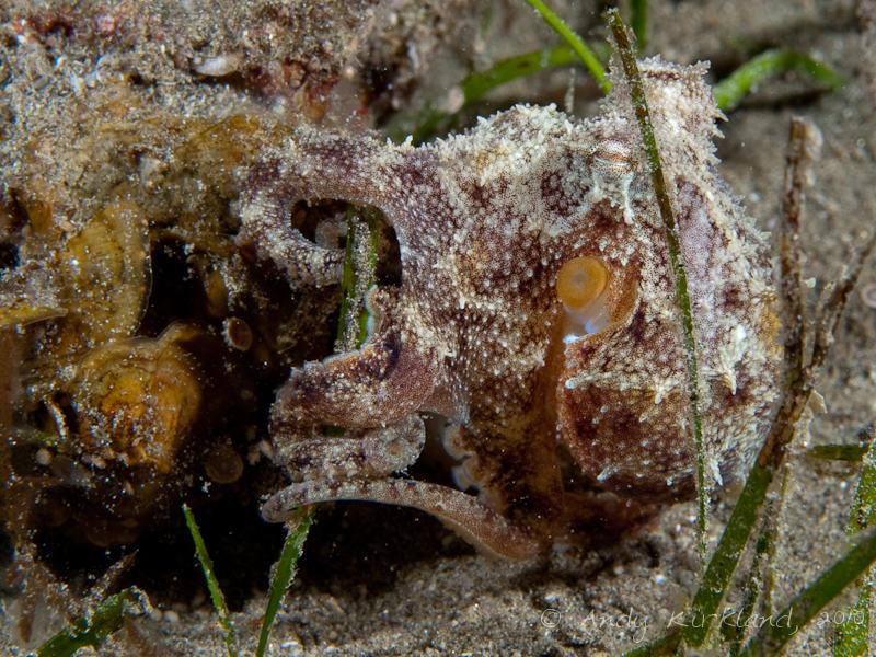 Photo at Marsa Abu Dabab - North:  Octopus