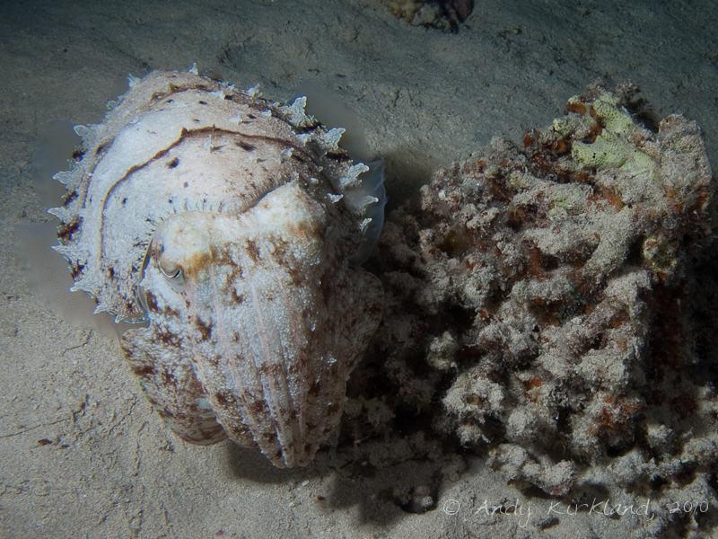 Photo at Marsa Abu Dabab - North:  Hooded cuttlefish