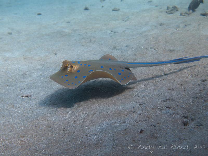 Photo at Marsa Abu Dabab - South:  Bluespotted ribbontail ray