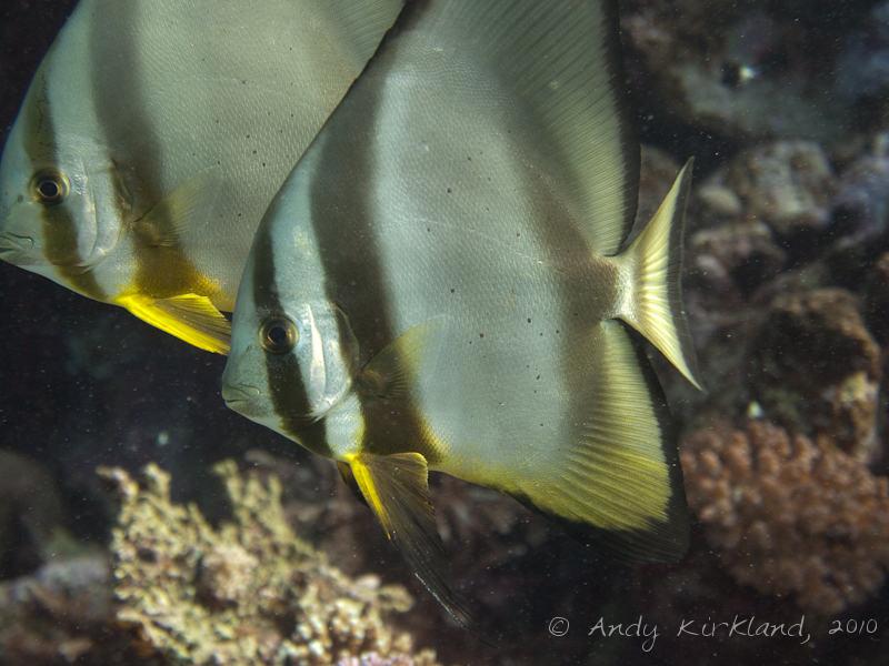Photo at Marsa Abu Dabab - South:  Tiera batfish