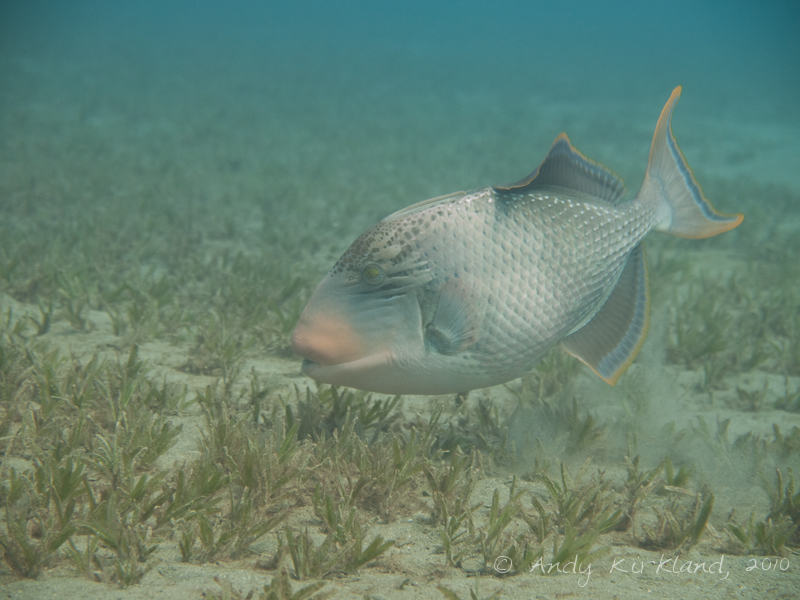 Photo at Marsa Abu Dabab - South:  Yellowmargin triggerfish