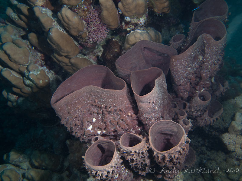 Photo at Gabel El Rosas:  Prickly Tube-sponge
