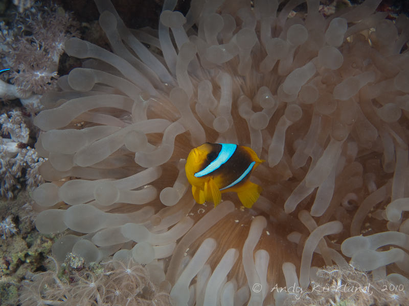 Photo at Gabel El Rosas:  Twoband anemonefish