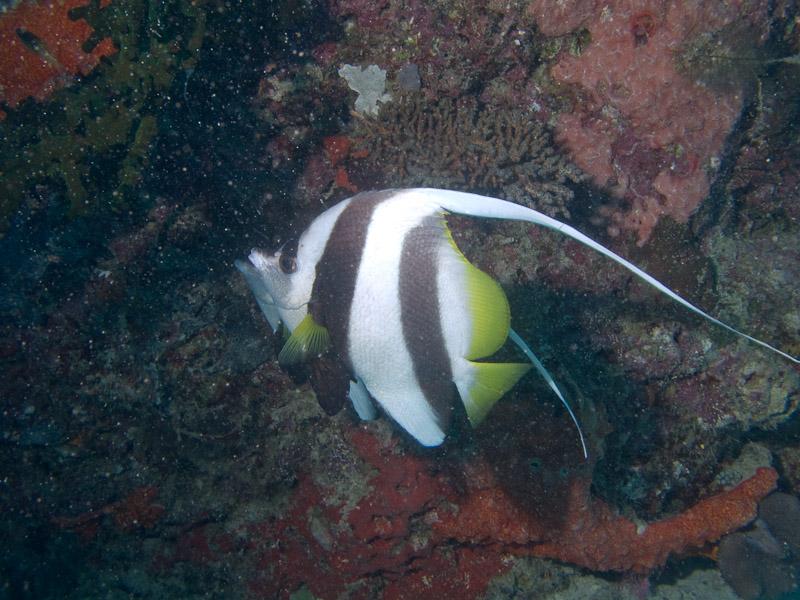 Photo at Challenger Bay:  Pennant coralfish
