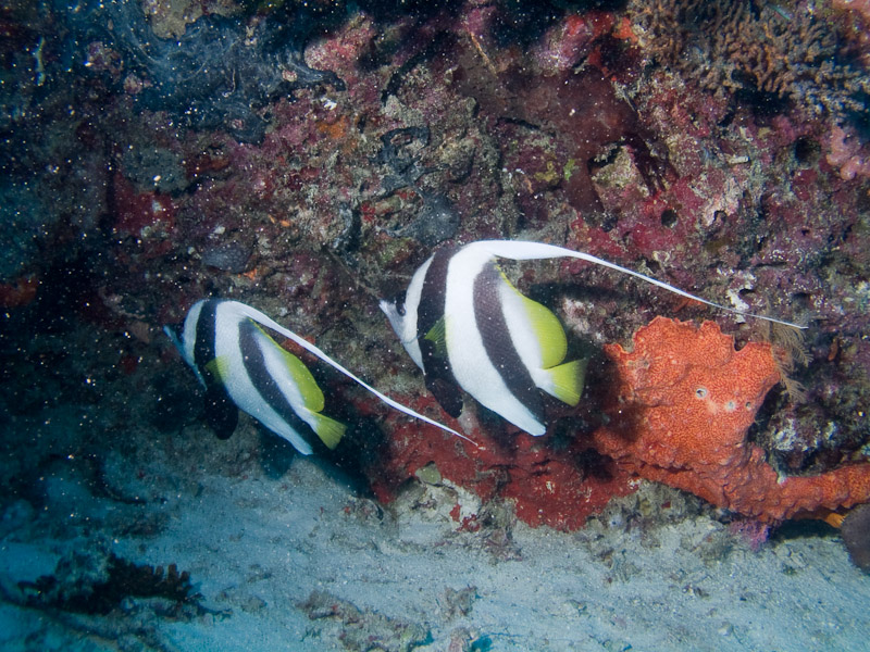 Photo at Challenger Bay:  Pennant coralfish