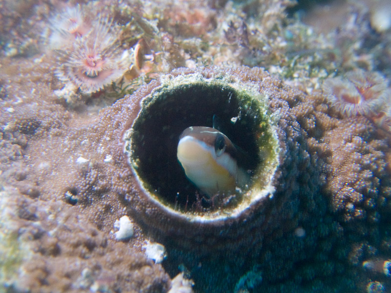 Photo at Challenger Bay:  Piano fangblenny