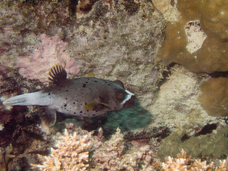 Photo at Challenger Bay:  Blackspotted puffer