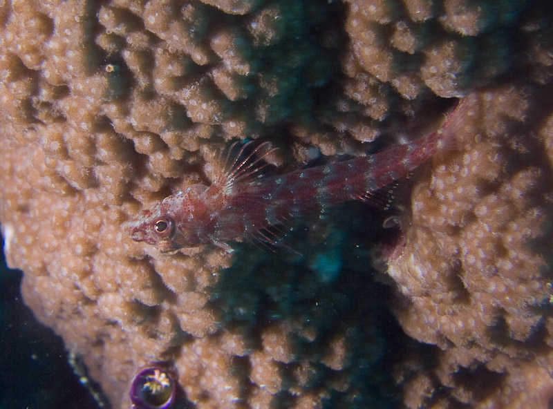 Photo at Challenger Bay:  Common Ghostgoby
