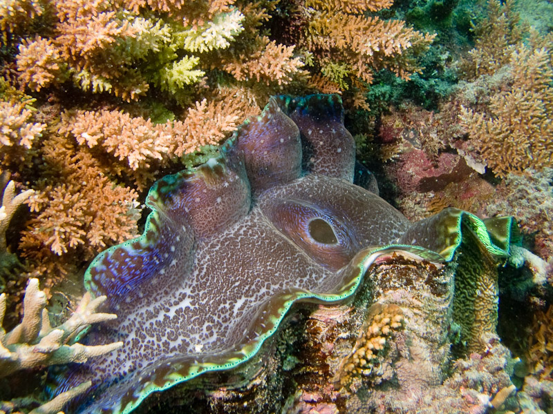 Photo at Challenger Bay:  Giant Clams
