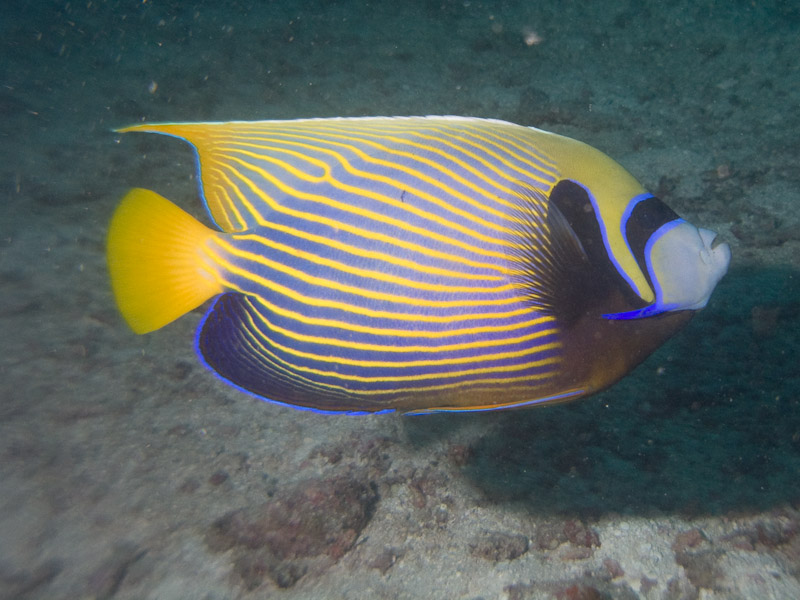 Photo at Cod Hole:  Emperor angelfish