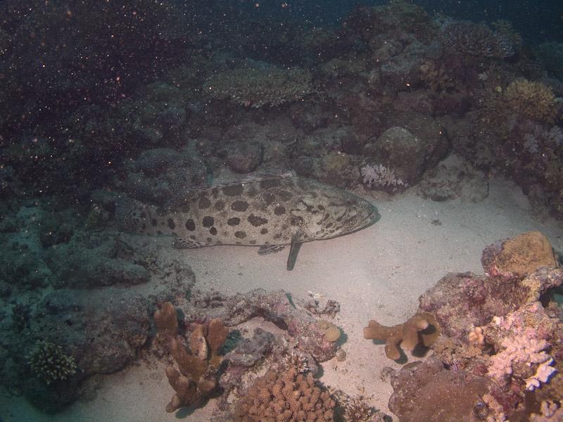 Photo at Cod Hole:  Potato grouper