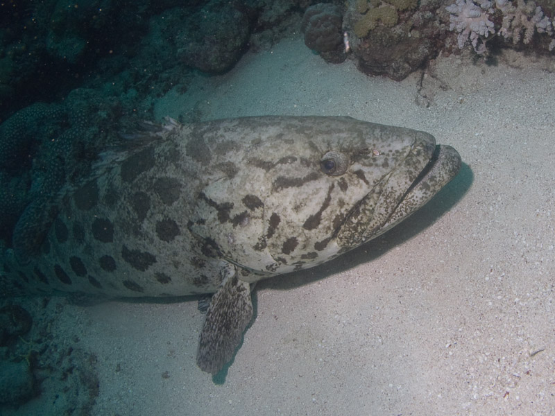 Photo at Cod Hole:  Potato grouper