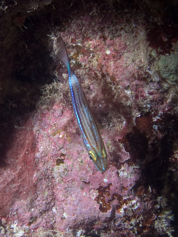 Photo at Cod Hole:  Cardinalfish