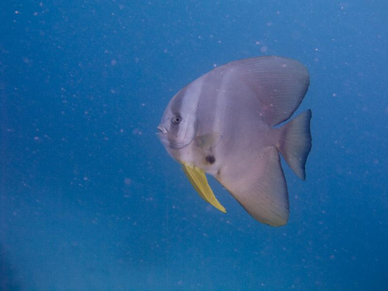 Photo at Challenger Bay:  Tiera batfish
