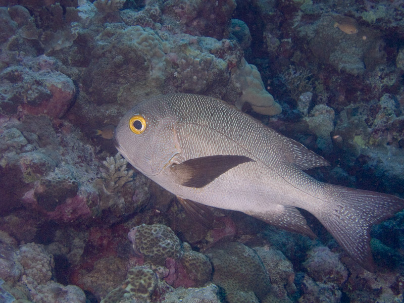 Photo at North Horn:  Humpnose big-eye bream