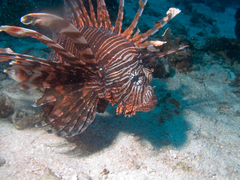Photo at The Entrance:  Devil firefish