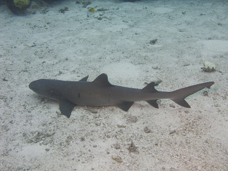 Photo at Halfway Wall:  Whitetip reef shark
