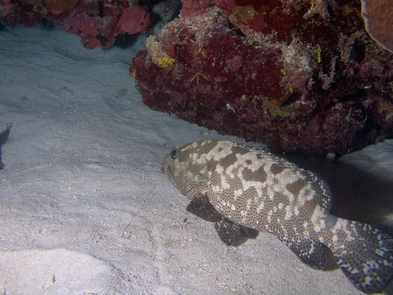 Photo at Halfway Wall:  Potato grouper
