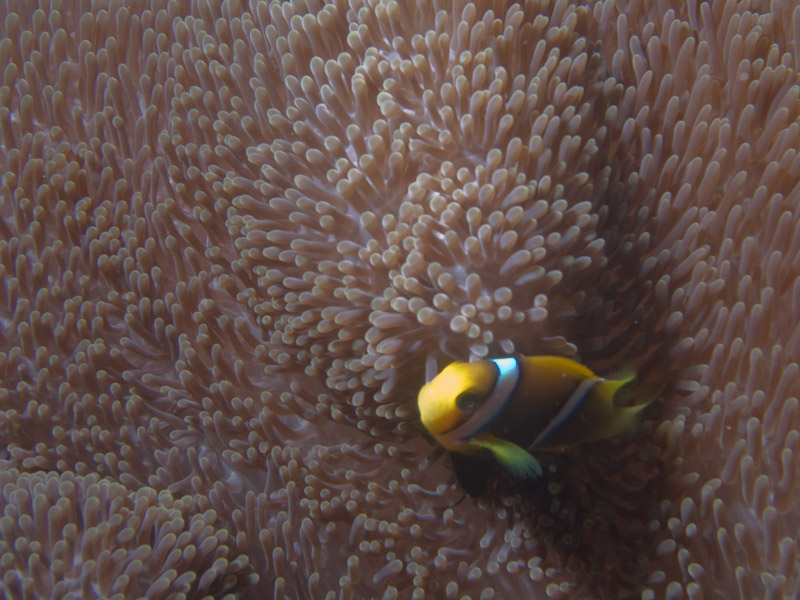 Photo at The Corner:  Orangefin anemonefish