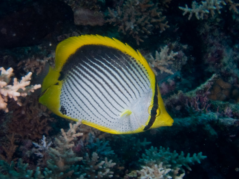 Photo at Kybaz:  Blackback butterflyfish