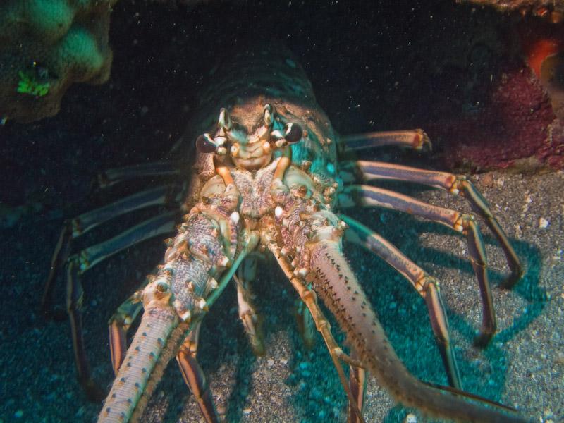 Photo at Camaronero II:  Lobster