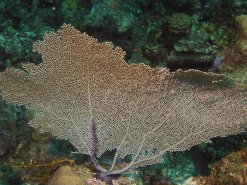 Photo at La Corona:  Gorgonian Sea Fan