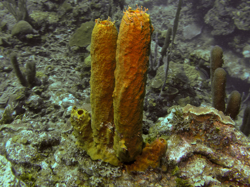 Photo at Camaronero II:  Tube Sponge