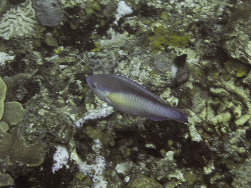 Photo at Camaronero II:  Princess parrotfish