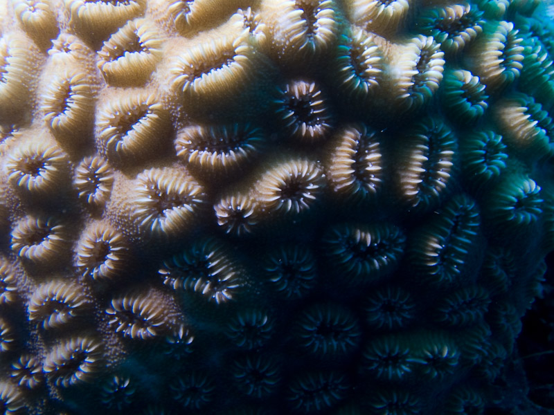 Photo at Camaronero II:  Honeycomb coral
