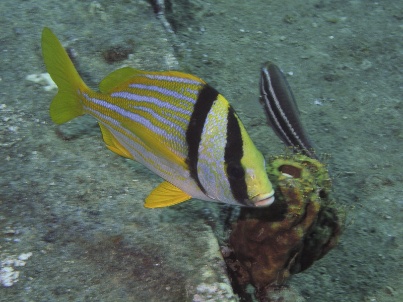 Photo at Camaronero II:  Porkfish