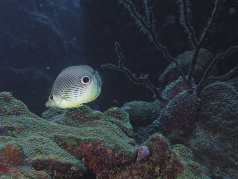 Photo at Camaronero II:  Foureye butterflyfish