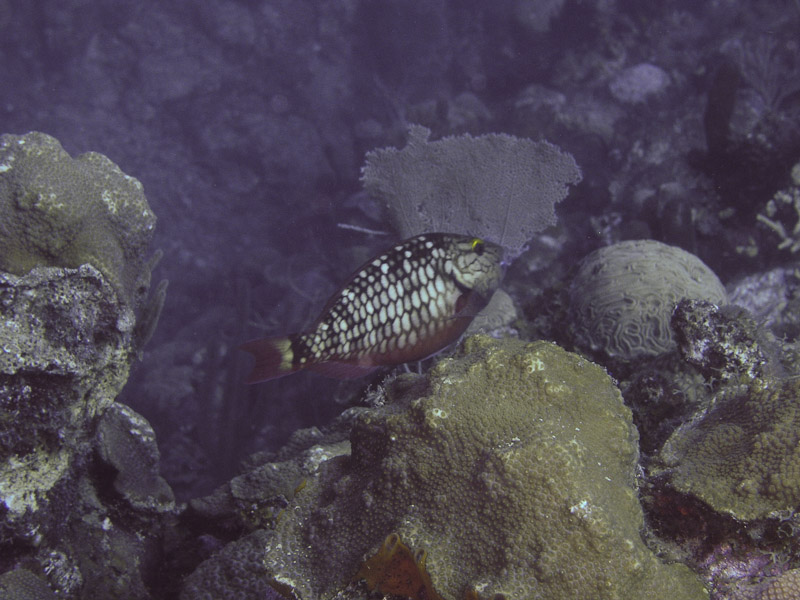 Photo at La Guasa:  Stoplight Parrotfish