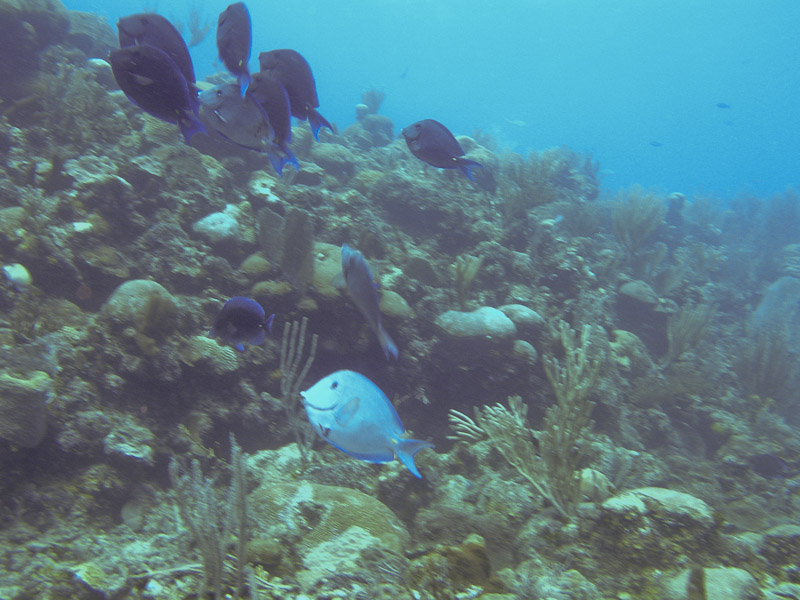 Photo at La Patanita:  Blue tang surgeonfish